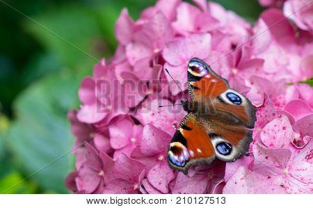 Beautiful butterfly of peacock species sitting on bright pink hydrangea flower in garden.