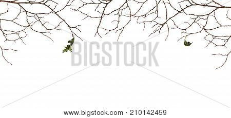 Dry twigs with two old leaves isolated on white background. Autumn concept.
