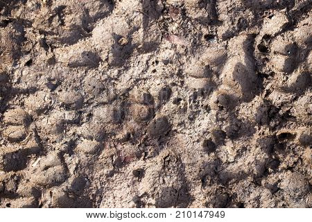 dog footprints in the mud . Photo of an abstract texture