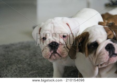 Portrait of the puppy of the English bulldog on pillows