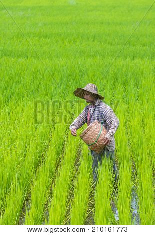 SHAN STATE MYANMAR - SEP 06: Burmese farmer working at a rice field in Shan state Myanmar on September 06 2017 Myanmar is the world's sixth largest rice producing country