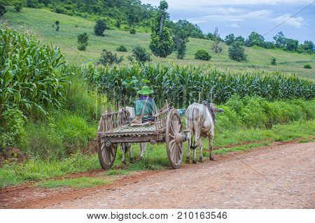 SHAN STATE MYANMAR - SEP 06: Burmese farmer riding ox cart in Shan state Myanmar on September 06 2017 Ox carts are widely used in Myanmar rural areas