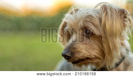 Dog portrait lost expression look. Copy space blurred background, doggie orange colors and pleasant atmosphere with calm and tranquility poster