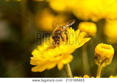 A bee is busy pollenating flowers as it goes about it's job collecting pollen.
