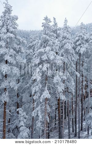 Winter forest landscape with frozen trees covered by white Snow