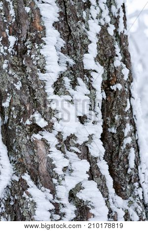 close-up of tree covered with snow -frosty winter