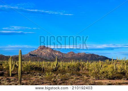 Arizona's Sonoran desert with saguaro cactus at sunset.