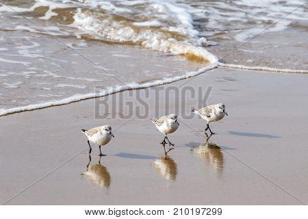 Three sandpipers walking in unison on beach