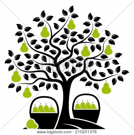 vector pear tree and baskets of pears isolated on white background