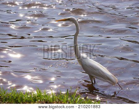 Great White Egret wildlife nature beauty reflex water