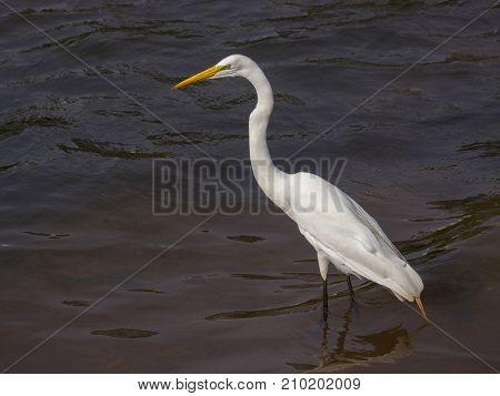Great White Egret wildlife nature tranquil scene lake pond