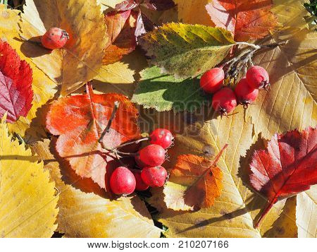 Hawthorn berries in autumn, on the yellow leaves scattered,