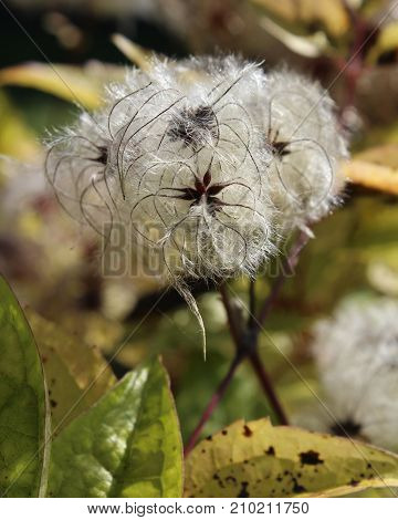 The fluffy white seed heads of the Clematis plant, amongst autumn foliage.