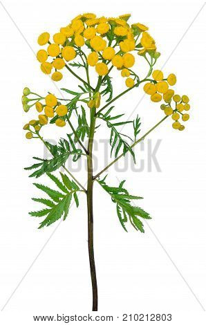 Tansy (Tanacetum Vulgare) flowers isolated on white background
