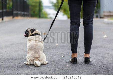 Cute pretty mops having fun with owner on the street. Dog and owner walking on the nature background. Close-up of dog. Animal concept.