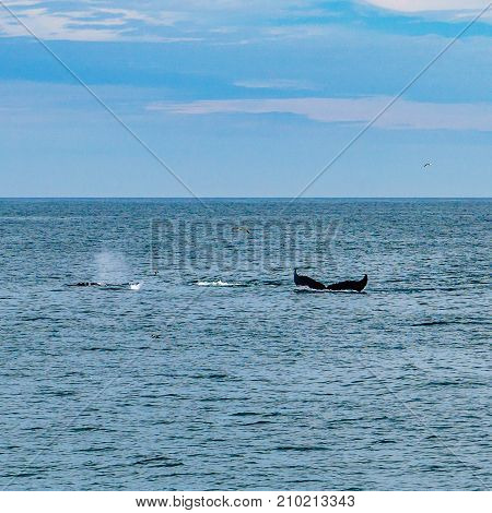 Humpback Whale Provincetown, Cape Cod, Massachussetts United States