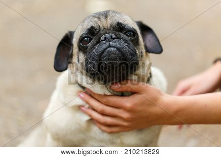 Beautiful funny dog sitting on the street on the blurred background. Doggie mops walking in the park. Close-up of dog. Pet concept.