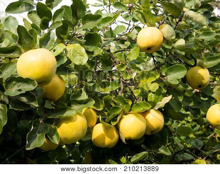 The quince (Cydonia oblonga) is a deciduous tree that bears a pome fruit similar in appearance to a pear and bright golden-yellow when mature.