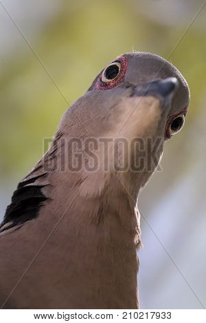 Mourning collared-dove portrait close-up looking down from above