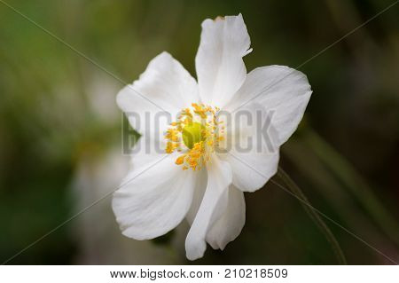 Close-up of a beautiful whit Flower in Sunlight. View on a amazing white Spring Flower. Blooming Flowers. Garden Flowers. Nature and Flower Backgrounds