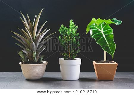 Green potted plant trees in the pot on table and dark background.