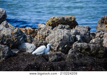 Snowy egret walking amongst rocks and seaweed at coast of Anna Maria Island, Florida