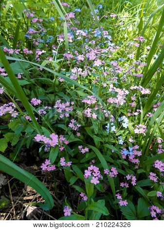 Forget-me-nots Fresh Garden  Blue And Pink Flower