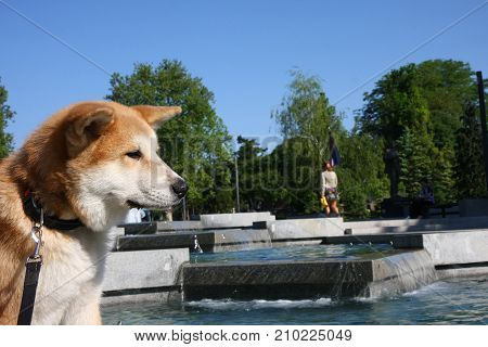 Thirsty Akita Inu puppy posing in front of public fountain