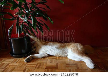 Lazyl Akita Inu dog lying down on the parquet floor