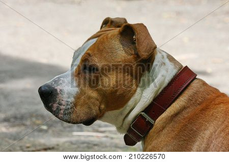 Portrait of young American serious Staffordshire Terrier
