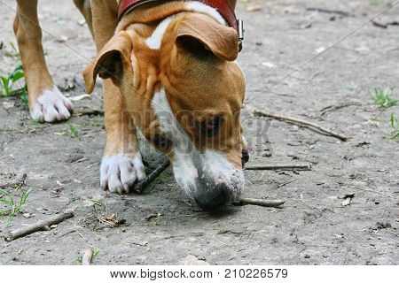 Young American Staffordshire Terrier playing in public park