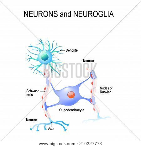 neurons and neuroglia. oligodendrocyte. vector. medical illusstration