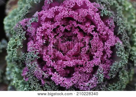 Decorative cabbage as texture or background autumn