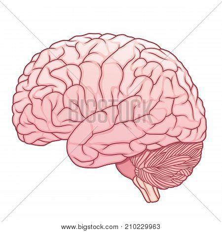 cartoon style pink human brain medical vector illustraion