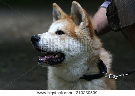 Portrait of young cute Akita Inu dog