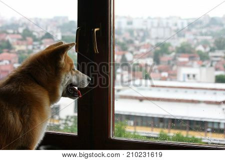 Young Akita Inu looking out the window
