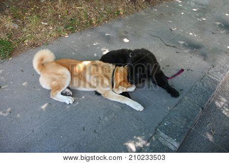 Puppies of Akita Inu and Newfaundlander playing on the street