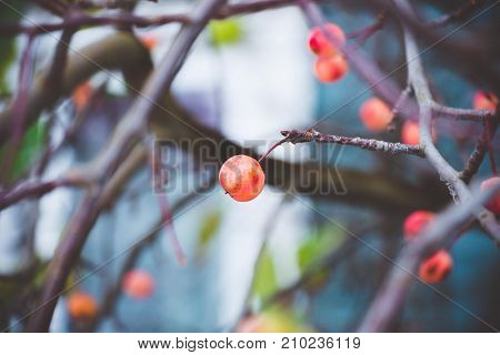 Ripe, red shade fruits of small plum, Chinese apples, on fallen trees in the autumn day.
