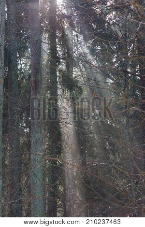 Misty forest at morning with illuminated spruce tree branch, Bialowieza Forest, Poland Europe
