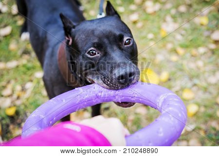 American pit bull terrier dog with puller toy in teeth in the autumn park. Dog pulls toy. Owner Playing With Dog using puller.