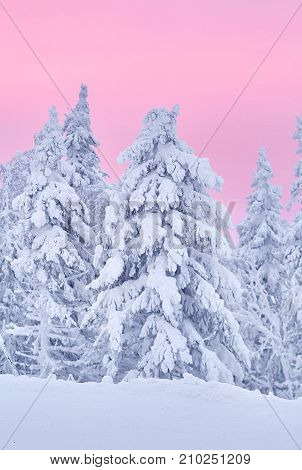 Fabulous Christmas Winter Forest At Sunset, Everything Is Covered With Snow. Pine And Spruce Trees C