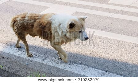 Arctic wolf mix street dog brown and white color walking alone on the road alone in Bangbuathong Thailand Has copy space Photo speed shutter focus select at head.