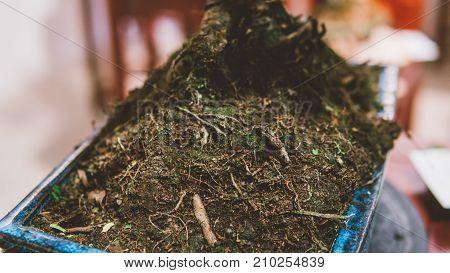 A Small Bonsai Tree In A Ceramic Pot Close-up..bonsai Tree For Sale