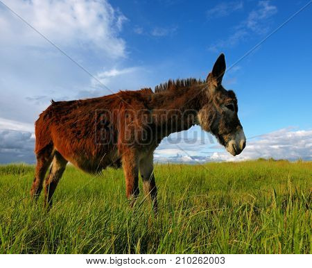 Donkey in a Field in sunny day