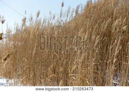 reeds in winter nature . In the park in nature