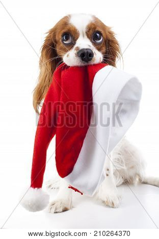 Dog with Santa hat. Christmas dog in studio. White background king charles spaniel dog. Christmas time. Santa hat with dog.