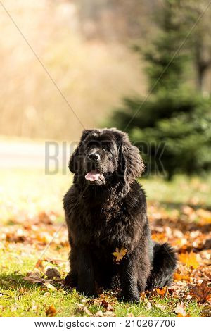 Newfoundland Dog Sitting On The Grass In The Autumn Period