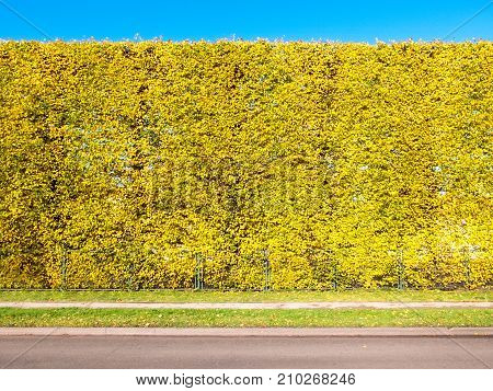 Linden Hedge On The Side Of The Road In Autumn