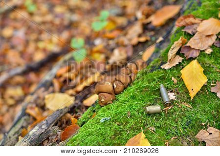 Bullet casings strewn on forest floor close up autumn colors