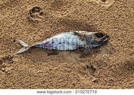 Dead Fish On Sand Beach
